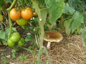 как посадить грибы самостоятельно